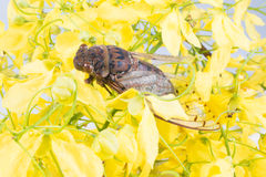 Cicada on a Flower royal Royalty Free Stock Photography