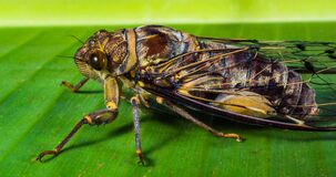Cicada on green leaf Stock Images