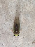 Cicada. Green cicada in Mississippi Royalty Free Stock Image