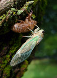 Cicada with green wings. Cicada with striking green wing veins energing from nymph sage Royalty Free Stock Photo