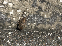Cicada on the ground Royalty Free Stock Photos