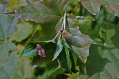 Cicada hatched from the cocoon. Royalty Free Stock Photo