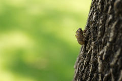 Cicada (Hemiptera: Cicadidae) moult hanging from a tree. Image of Cicada (Hemiptera: Cicadidae) moult hanging from a tree Stock Photos