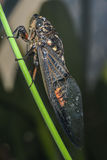 Cicada (Hemiptera: Cicadidae) on leaf. Cicada (Hemiptera: Cicadidae) on tree incect stock photos