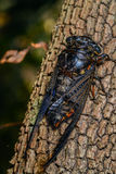 Cicada (Hemiptera: Cicadidae) on leaf. Royalty Free Stock Images