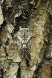 The cicada. A hidden in the hidden color the cicada Stock Photography
