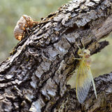 Cicada and his exuvia Royalty Free Stock Image