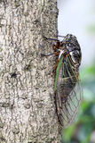Cicada holding on a tree Royalty Free Stock Image