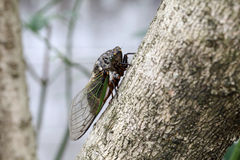 Cicada holding on a tree Stock Image