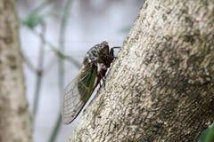 Cicada holding on a tree Stock Image