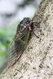 Cicada holding on a tree Stock Photos