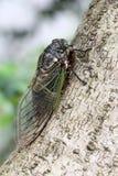 Cicada holding on a tree Stock Photos