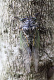 Cicada holding on a tree Stock Photography