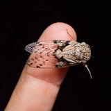 Cicada on human finger Royalty Free Stock Photography