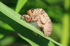 Cicada Husk Stock Image