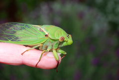 Cicada insect. A big green cicada sitting on a person\'s finger Royalty Free Stock Images