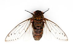 Cicada insect. Royalty Free Stock Photography