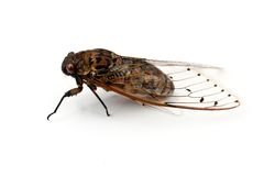 Cicada insect. Cicada insect   on white background Stock Images