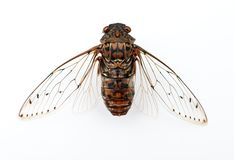 Cicada insect. Cicada insect   on white background Royalty Free Stock Image