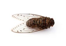 Cicada insect. Cicada insect   on white background Stock Photos