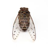 Cicada insect. Cicada insect   on white background Stock Image