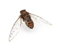 Cicada insect. Cicada insect   on white background Royalty Free Stock Photo