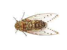Cicada insect. Isolated on white background Stock Photo