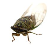 Cicada insect. In America life Royalty Free Stock Photography