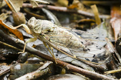 Cicada insect. Camouflaging on dead leaf bed Stock Photo