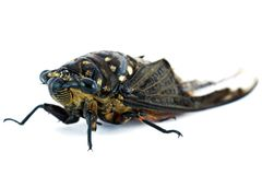 Cicada insect. Isolated on a white background Stock Photos