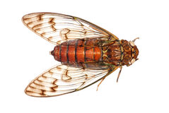 Cicada insect detail. A cicada insect isolated in white. In Guangdong, China Stock Photos