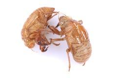 Cicada Insect Exoskeleton. On white background Royalty Free Stock Photo