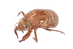 Cicada Insect Exoskeleton. On white background Royalty Free Stock Images