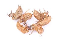 Cicada Insect Exoskeleton. On white background Royalty Free Stock Image