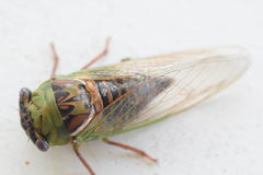 Cicada insect. Found this cicada in my bushes what big eyes you have Royalty Free Stock Photography