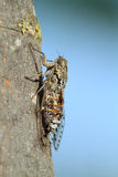 Cicada insect francais. Provence france sound Royalty Free Stock Image