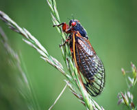 Cicada Insect On Green Grass with Red Eyes Stock Photos