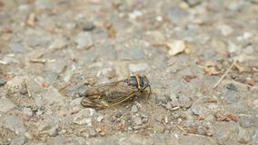 Cicada insect on the ground.  stock footage