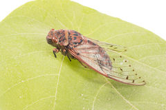 Cicada insect. Isolated on leaf Stock Image