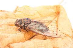 Cicada insect. Isolated on leaf Stock Images