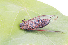 Cicada insect. Isolated on leaf Royalty Free Stock Photography