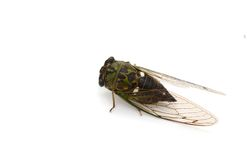Cicada insect Stock Photography