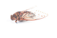 Cicada insect. Isolated on white background Royalty Free Stock Photos