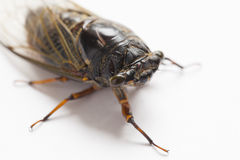 Cicada insect isolated on white Stock Photo