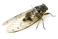 Cicada insect. Isolated on white background stock image