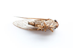 Cicada insect isolated. On white background Stock Photos