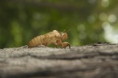 Cicada insect molting on tree in nature. Cicada metamorphosis grow up to adult insect royalty free stock photos