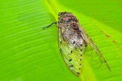 Cicada Royalty Free Stock Photos