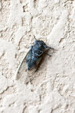 Cicada insect on the wall. Close up Stock Image