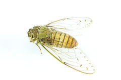 Cicada insect. On white background Royalty Free Stock Photos